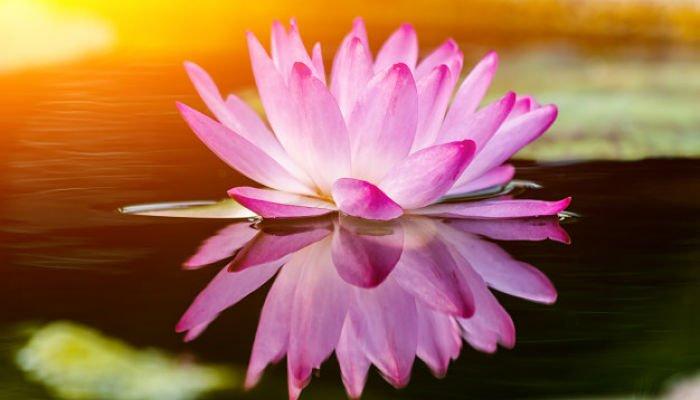 significado de la flor de loto rosa
