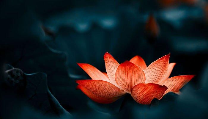 significado de la flor de loto roja