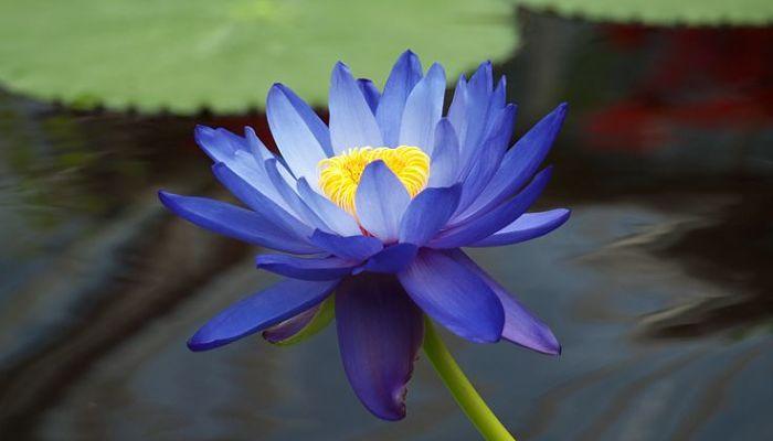 significado de la flor de loto azul